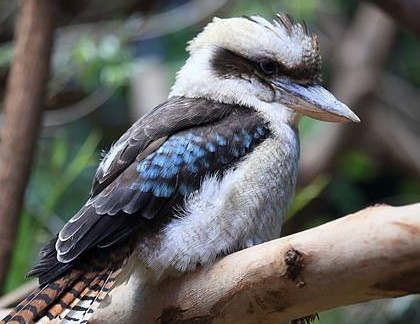 https://au.avalanches.com/perth_kevin_the_kookaburra_slaughtered_to_death_at_parkerville_tavern_in_perth8172_28_10_2019