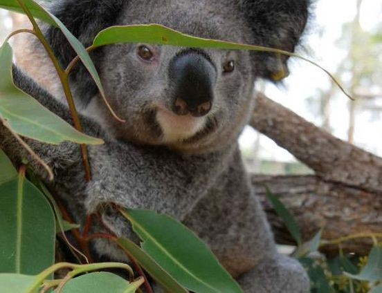 https://au.avalanches.com/sydney_hundreds_of_koalas_may_have_died_because_of_the_outofcontrol_bushfire8694_30_10_2019