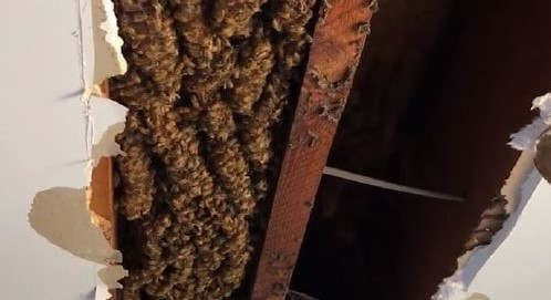 https://au.avalanches.com/brisbane_70000_bees_found_living_in_the_hive_in_the_roof_of_a_suburban_home8742_30_10_2019