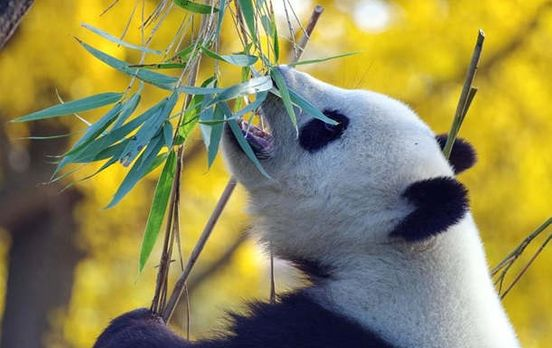 https://ca.avalanches.com/toronto_canada_will_return_pandas_to_china_because_there_is_nothing_to_feed_th277981_16_05_2020