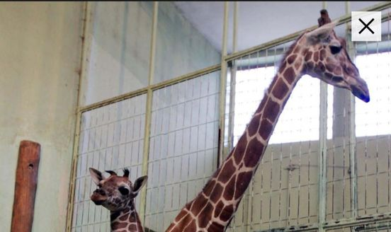 https://de.avalanches.com/frankfurt_am_main_giraffe_monique_im_frankfurter_zoo_eingeschlfert5065_10_10_2019