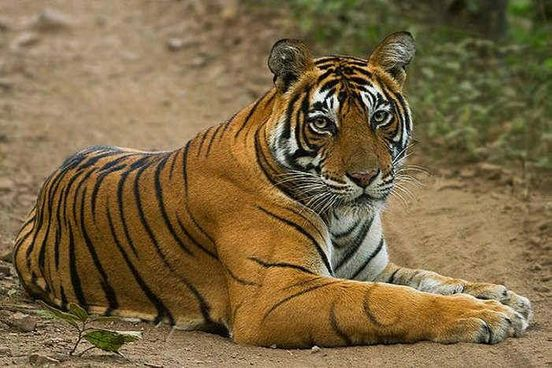 https://in.avalanches.com/jaipur_ranthambore_tiger_missing31137_19_02_2020