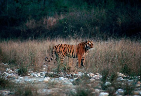 https://in.avalanches.com/jaipur_tiger_hunting_in_ranthambore_national_park29966_14_02_2020