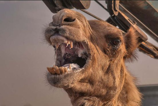 https://in.avalanches.com/jaipur_angry_camel_bites_off_owners_head37906_22_03_2020