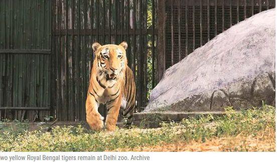 https://in.avalanches.com/delhi_death_of_zoo_tiger_postmortem_includes_no_internal_internal_1878_22_09_2019