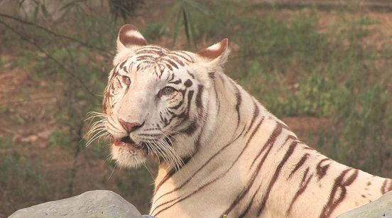 https://in.avalanches.com/delhi_delhi_zoo_gets_a_new_occupant_from_lucknow_a_3yearold_white_tiger22158_08_01_2020