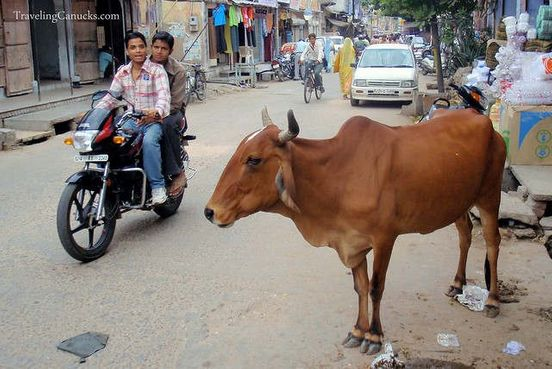 Man arrested for transporting 'beef', running over pedestrian