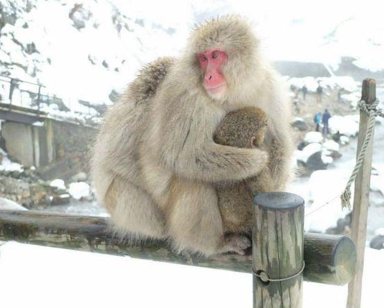 https://jp.avalanches.com/tokyo_dzikogudani_yamanouchimother_snow_monkey_park_japan17909_16_12_2019