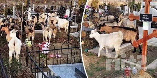 Стая коз разгуливающая по кладбищу в Кишиневе снята на видео