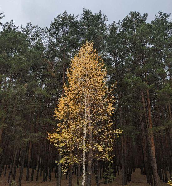 https://ua.avalanches.com/kremenchuk_samoe_svetloe_derevo_lesa_bereza8094_27_10_2019