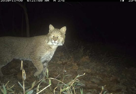 A genuine wildcat within the District': Bobcat seen in Washington. acr