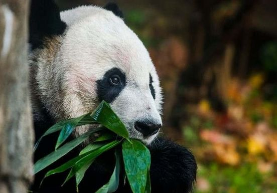 https://us.avalanches.com/california_bei_bei_the_panda_will_say_goodbye_to_national_zoo_on_tuesday12917_20_11_2019