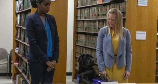 https://us.avalanches.com/chicago_hatty_the_amazing_labrador_sworn_in_at_chicago_state_attorneys_office_for_emotional_support9454_02_11_2019