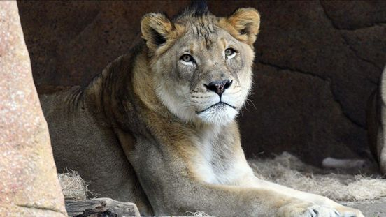 https://us.avalanches.com/chicago_male_african_lion_of_brookfield_zoo_zenda_dies21409_04_01_2020