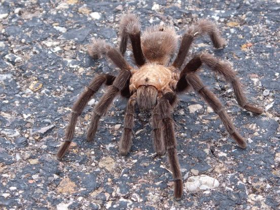 https://us.avalanches.com/san_francisco_there_are_thousands_of_tarantulas_in_the_san_francisco_bay_area_hunting_for_mates_from_the_surface6021_14_10_2019