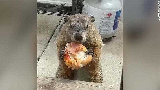 https://us.avalanches.com/san_francisco__very_funny_video_of_groundhog_munching_pizza_captured_in_philadelphia103470_17_04_2020