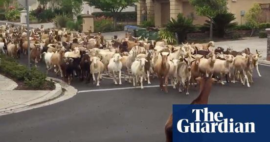 https://us.avalanches.com/san_jose__two_hundred_goats_invaded_the_neighborhood_of_california_culture_is_s272217_15_05_2020